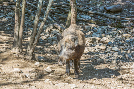 suid: Wild boar coming towards the camera. Selective focus on the animal.