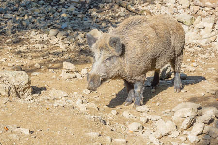 suid: Wild boar warming up in the sun. Selective focus on the animal. Stock Photo