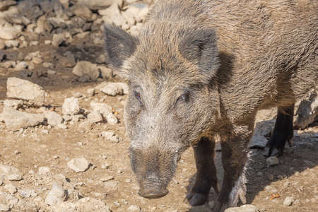 suid: Head of a wild boar in close up. Selective focus on the animal.
