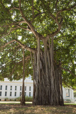 Banyan tree next to Iolani Palace