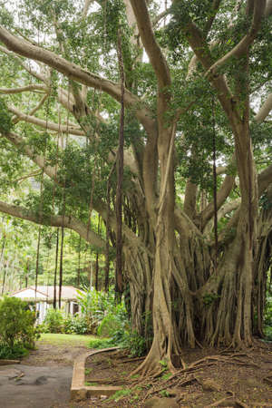 banian tree: View of a banyan tree in Iao Valley State Park. The aerial roots are clearly visible. Stock Photo