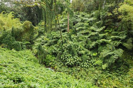 fern  large fern: An impenetrable tropical forest surrounding Akaka Falls.