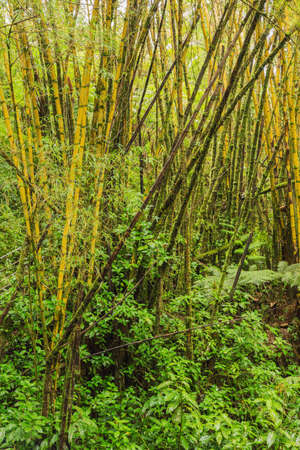 fern  large fern: Bamboo and ferns in a tropical forest surrounding Akaka Falls. Stock Photo