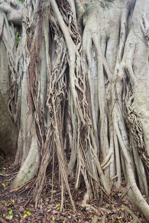 Details of the root system of the banyan tree. The different aerial roots grow into the ground Stock Photo
