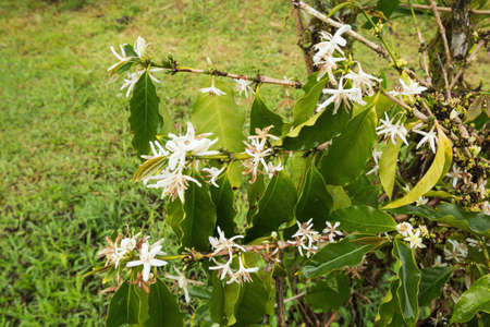 coffea: Flowers of the coffee plant. Selective focus on the flowers as the surroundings do not contribute to the subject