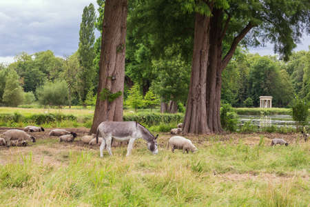 Farm animals in the English Garden grazing in front of the Venus temple in the park of the Chantilly Castle
