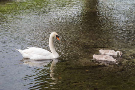 preceded: Mute swan preceded by two cygnets swimming in a dark pond Stock Photo