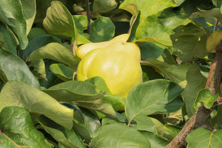 pectin: Quinces hanging in a tree, ripe and ready to be picked