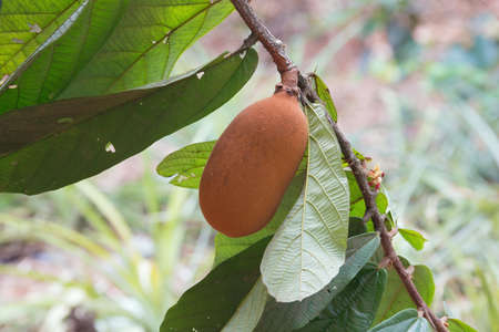 Close-up of cupuacu fruit. Selective focus on the fruit as the background does not contribute to the subject. Standard-Bild