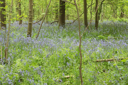 Bluebells amidst underwood giving the forest floor a purple color Stock Photo