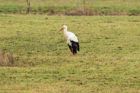 White stork posing in a meadow in the marshland near Mechelen