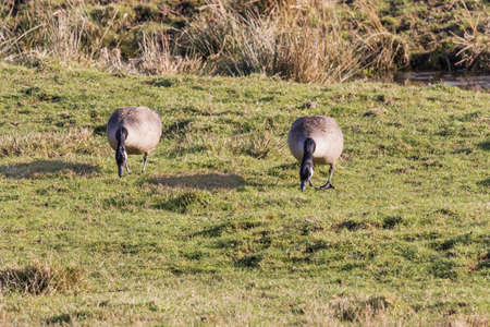 Two grazing Canada geese in the marshland