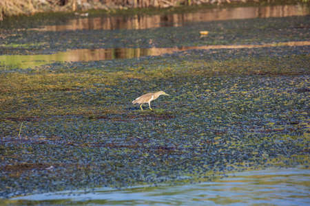 Squacco heron wading through the water of the Nile close to Aswan 写真素材