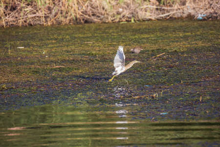 Squacco heron taking off from a swap in the Nile close to Aswan