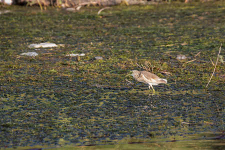 Squacco heron with open beak wading in the Nile close to Aswan 写真素材