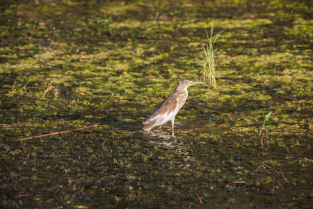 Squacco heron hunting for a prey in the Nile close to Aswan 写真素材