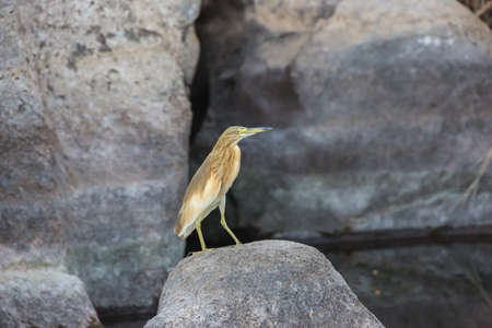 Squacco heron perching on a rock in the Nile close to Aswan 写真素材