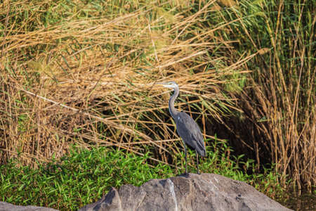 Grey heron waiting for a prey on a bank of the Nile near Aswan