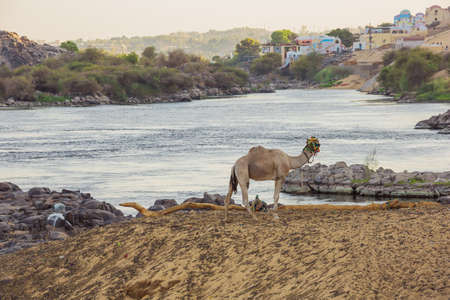 A dromedary overlooking the Nile close to Aswan