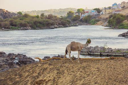 Ein Dromedar mit Blick auf den Nil in der Nähe von Assuan