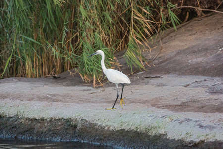 Little egret running on a bank of the Nile near Aswan