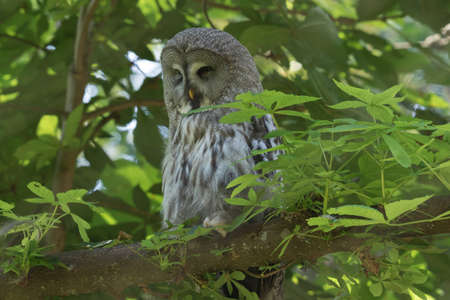 Great Grey Owl sleeping in a tree. Selective focus on the animal.