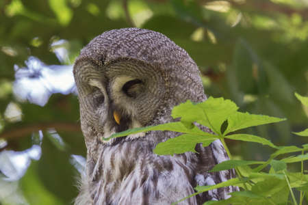 Head shot of a Great Grey Owl sleeping in a tree. Selective focus on the animal.