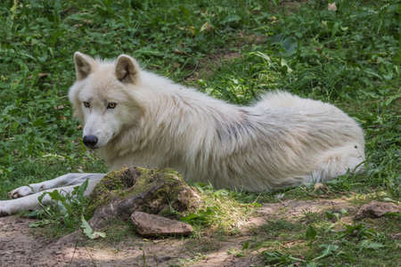 Arctic wolf resting on the forest floor looking attentively around Фото со стока