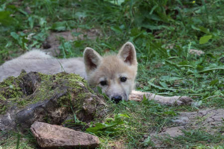 Arctic wolf cub lurking on the forest floor looking attentively around