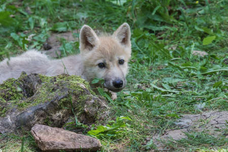 Arctic wolf cub lurking from behind a tree trunk looking attentively around