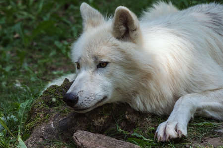 Arctic wolf looking attentively from a low position