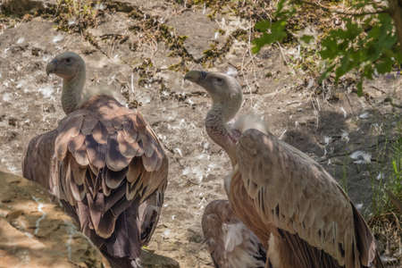 Two griffon vultures scanning the area from a vantage point