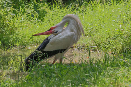Stork posing with a back curved neck in the Ardennes Фото со стока