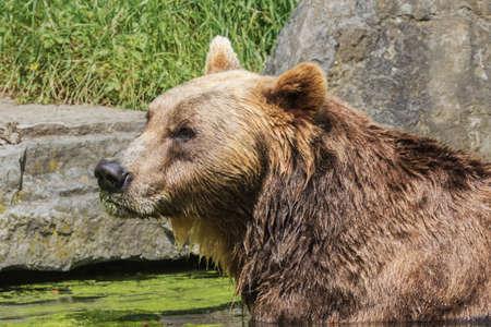 Brown bear enjoying the sun while taking a bath
