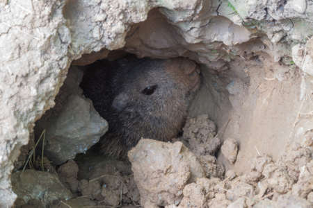 Marmot popping out of its lair below the surface