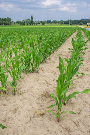 Rows of young maize plants coming out of the soil on a field in Flanders Фото со стока