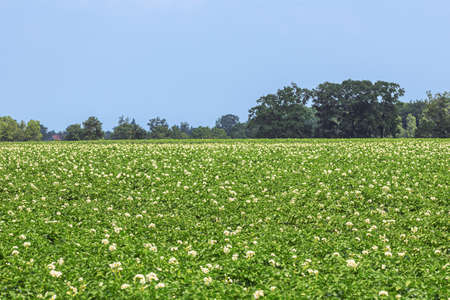 Field of blooming potato plants in close up in Flanders. Selective focus on the foreground.