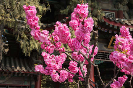 Branch with cherry blossom, in the Summer Palace