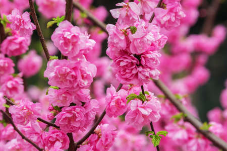 Close up of cherry blossoms, in the Jingshan Park in Beijing