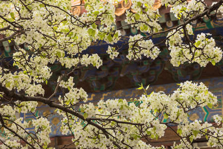 Close up of pear blossom in the courtyard of  the Palace of Obeying the Heaven in the Forbidden City in Beijing