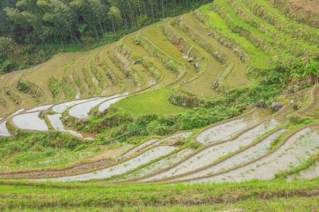 Close up of rice terraces next to a forest at Pingancun village in the Longsheng area near Guilin