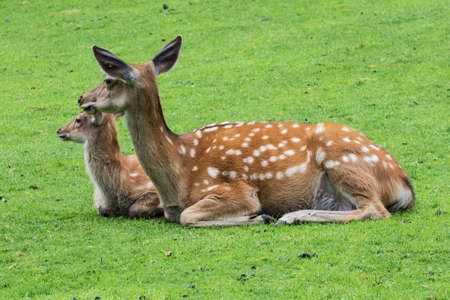 Fallow deer and calf resting in a meadow on a mountain slope Stock Photo