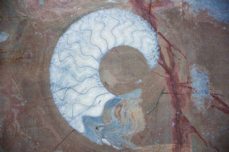 Close up of a blue ammonite fossil in a red brown rock as found in the area of Erfoud