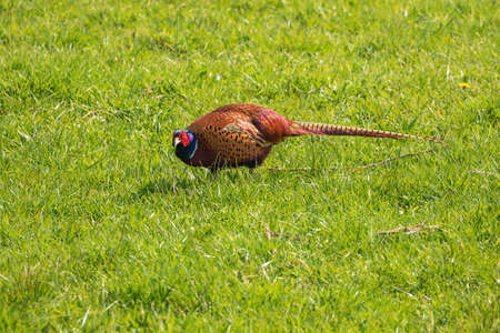 Pheasant looking at the camera while picking in the grass