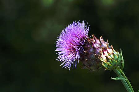 Close up of an artichoke flower taken in the medicinal herb garden near the Haller Gate in Nuremberg