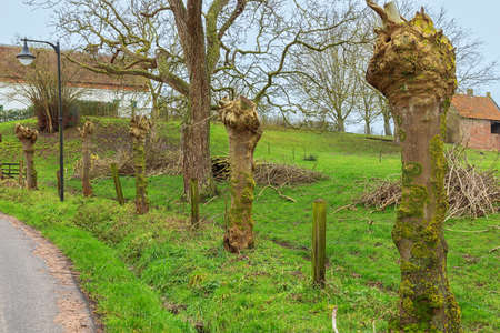 Prunings from trimmed pollard willows in the Flemish Ardennes