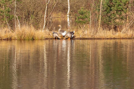 Three greylag geese wading on the shore of a small lake in the vicinity of Lommel