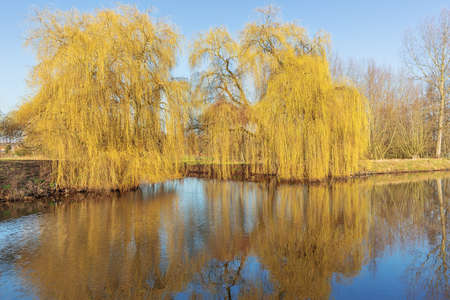 Pair of weeping willows in their first spring colors along the Moervaart, a small canal in Wachtebeke