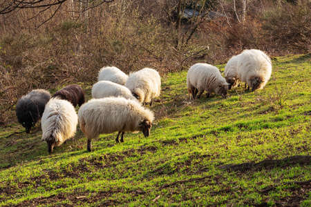 Herd of grazing mergelland sheep, a rare breed spotted near 's Gravenvoeren