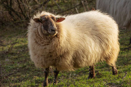 Close up of a mergelland sheep, a rare breed spotted near 's Gravenvoeren